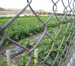 Vegtable garden at Albany
