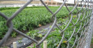 Vegtable garden at Albany