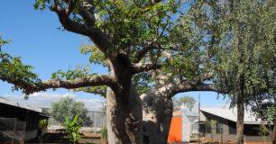 Image of Boab tree inside West Kimberley Prison