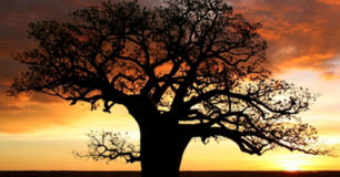 Image of a Boab tree at sunset