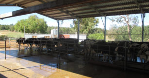 Image of Dairy cows in an open tin roof shed